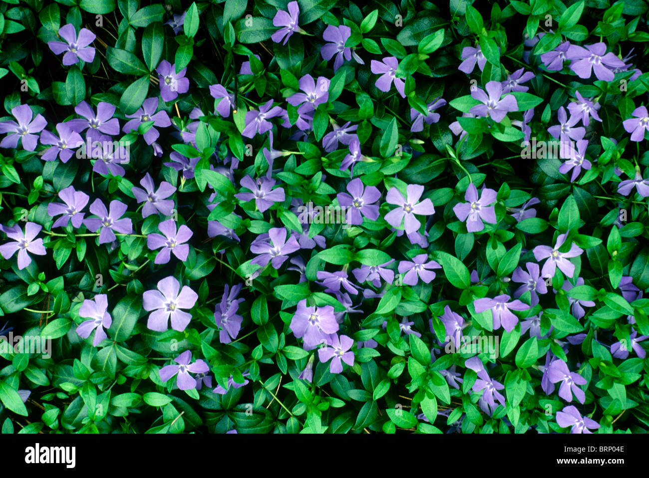Purple vinca minor or periwinkle blooms making a green flowered purple vinca minor or periwinkle blooms making a green flowered carpet of ground cover for the garden mightylinksfo