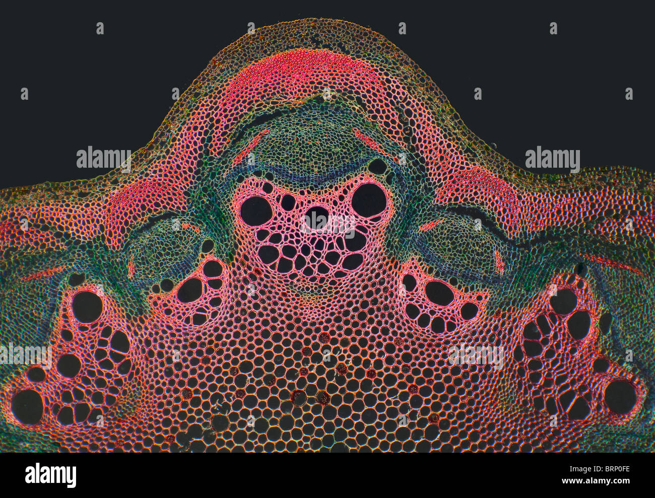 Darkfield photomicrograph Travellers Joy stem TS. Clematis vitalba - Stock Image