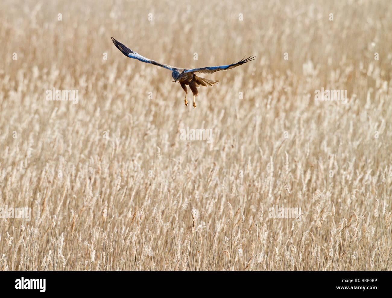 Marsh harrier ( Circus aeruginosus ) female landing in reedbed Stock Photo