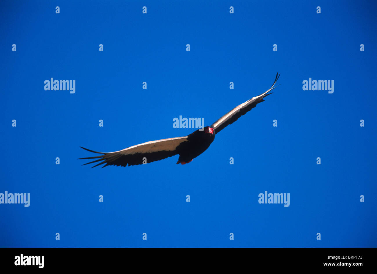 Bateleur in good colour, in-flight against vivid blue sky. - Stock Image