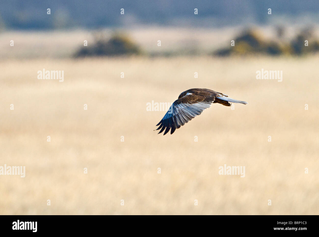 Marsh harrier ( Circus aeruginosus ) male hunting Stock Photo
