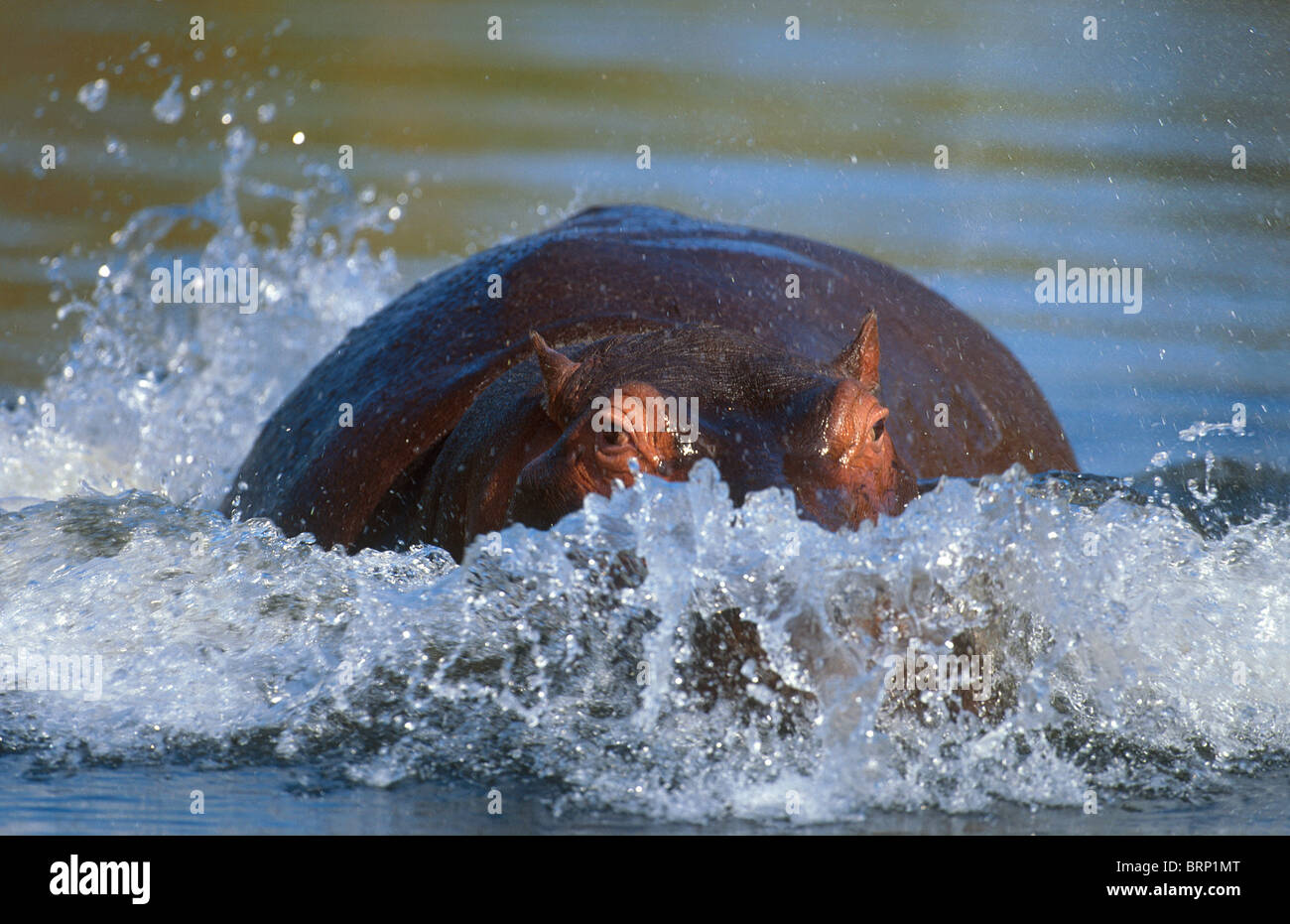 Hippo charging from in the water - Stock Image