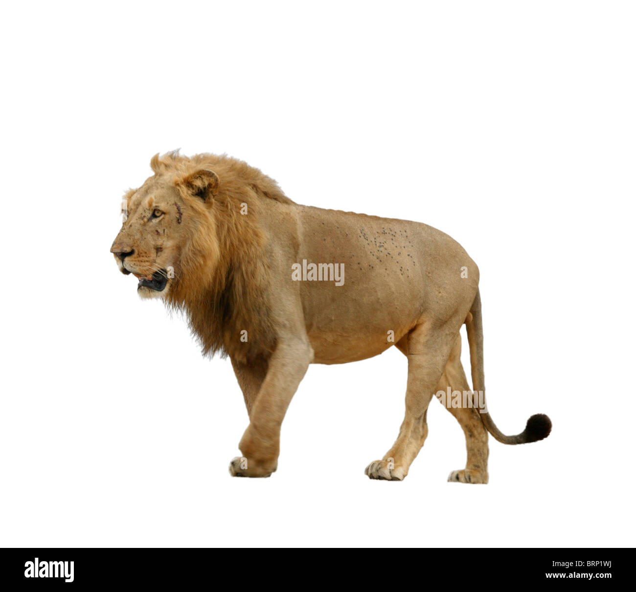 Side-view of a male lion walking Stock Photo: 31831902 - Alamy - photo#5