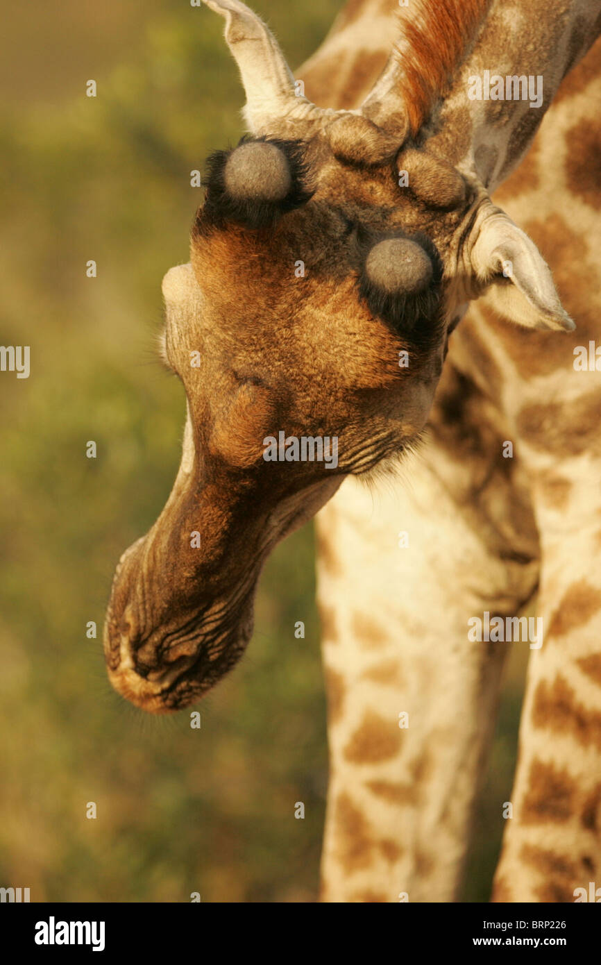 A view from above of a South African Giraffe with its head lowered showing its horns - Stock Image