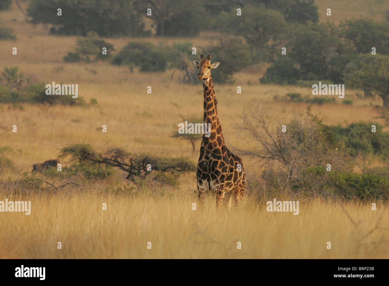 Scenic view of a giraffe standing in long grass - Stock Image