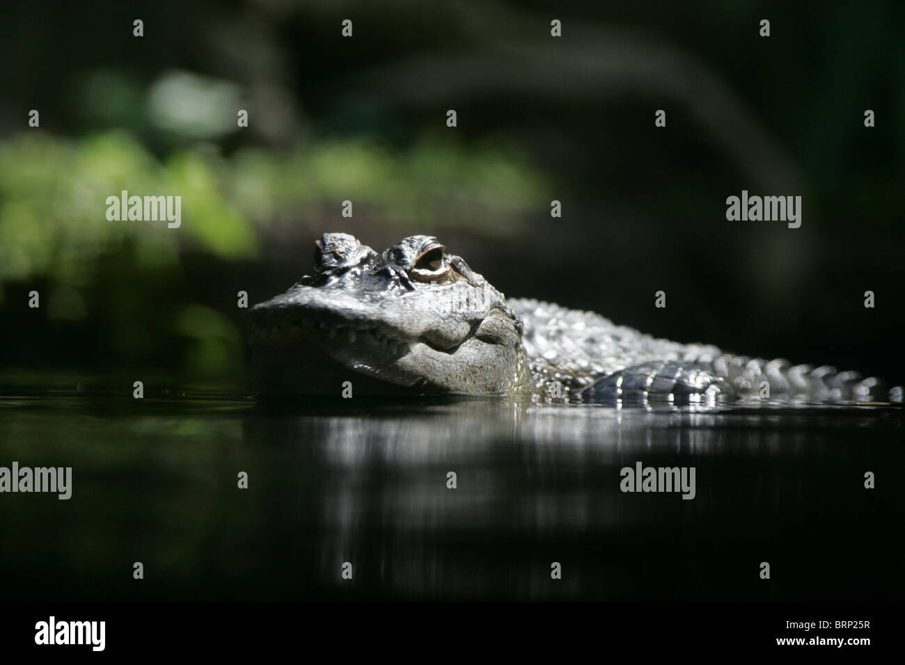 Cuvier's Dwarf Caiman with its head and part of its body above water - Stock Image
