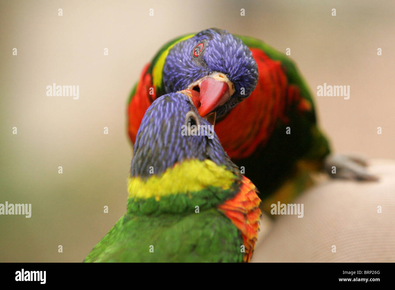 Rainbow Lorikeets with their beaks together - Stock Image