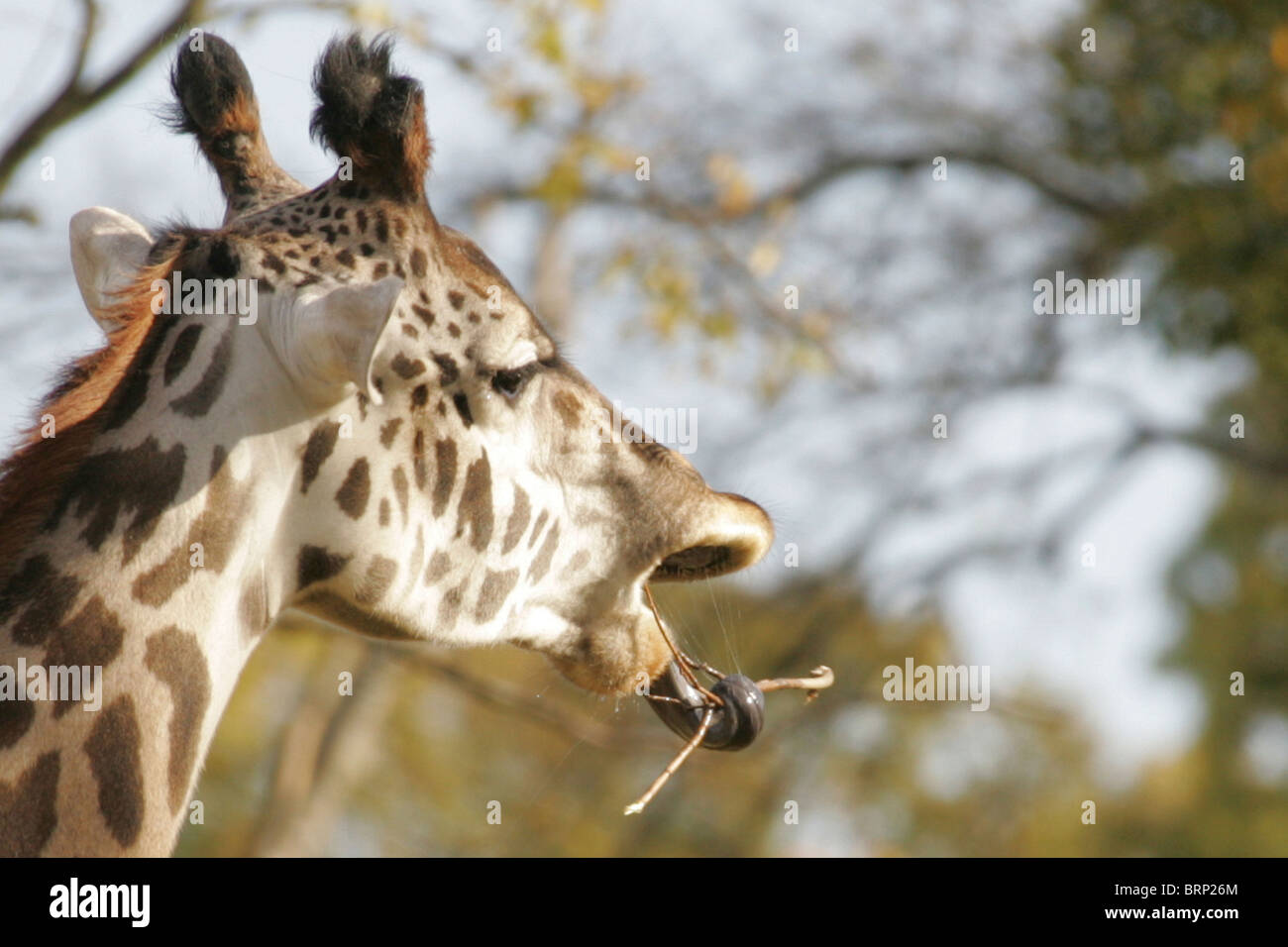 Masaai Giraffe with its tongue wrapped around a twig - Stock Image
