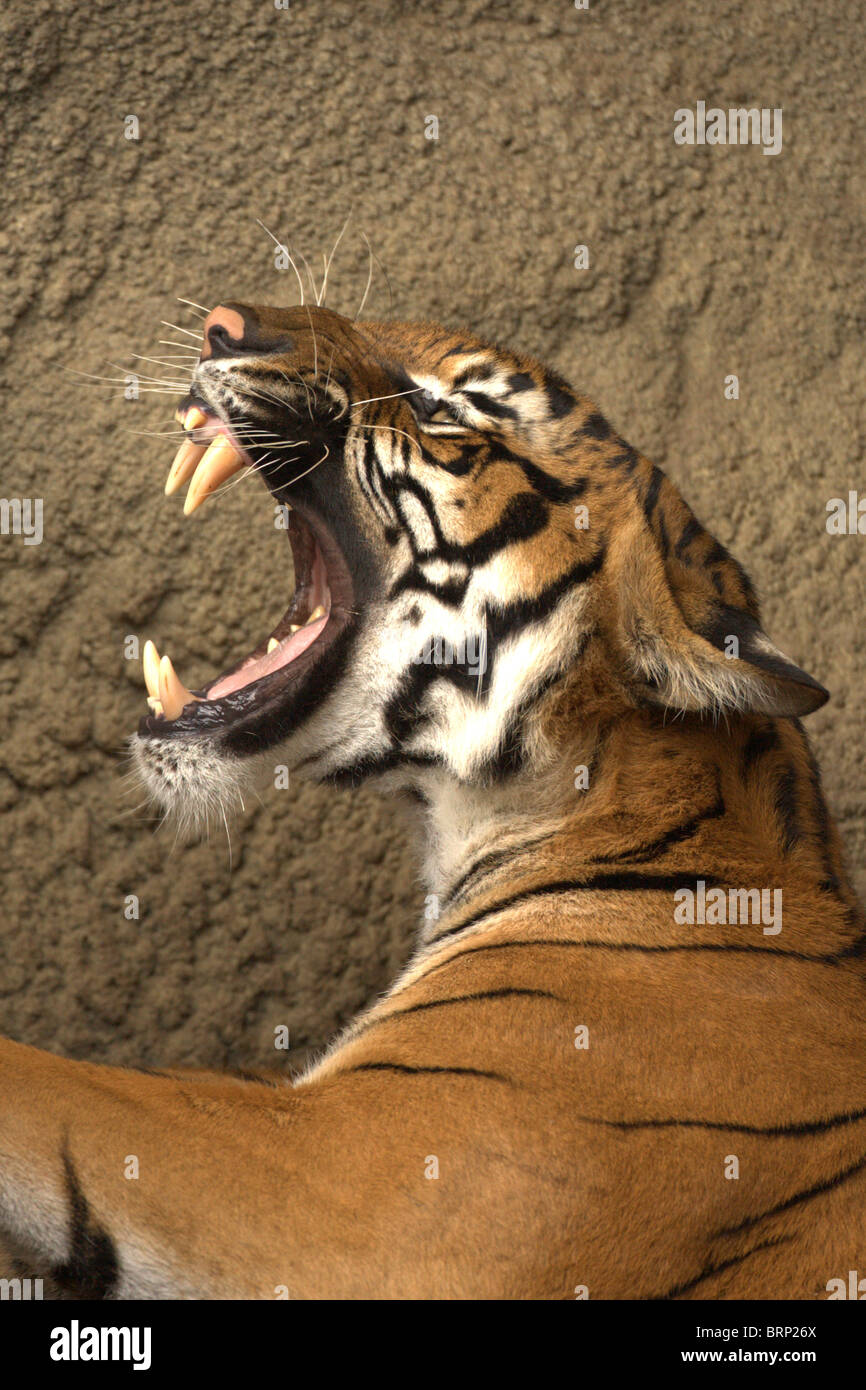 Bengal Tiger with its mouth wide open snarling - Stock Image