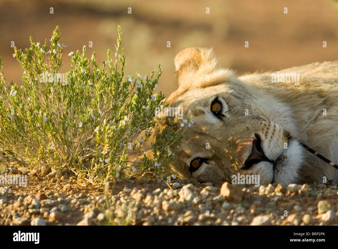 Lioness lying on her side with a porcupine quill stuck in her neck - Stock Image