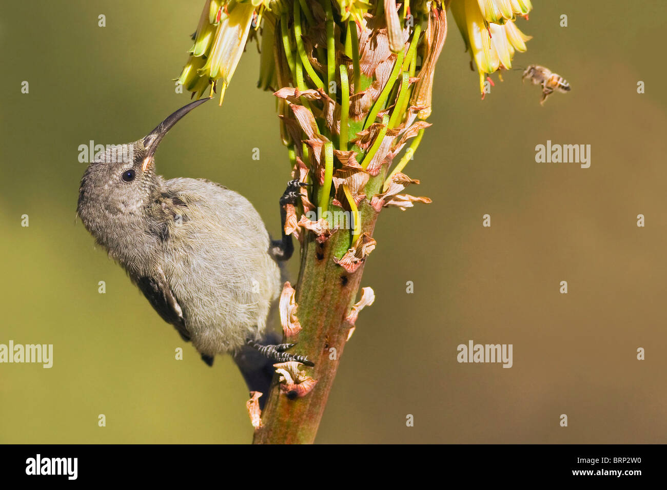 Greater Double-collared Sunbird feeding on nectar - Stock Image