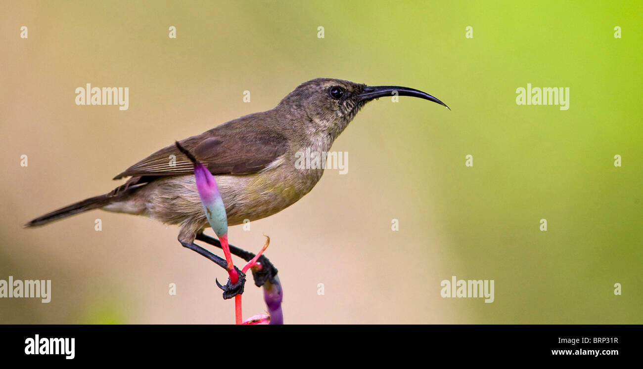 Greater Double-collared Sunbird - Stock Image