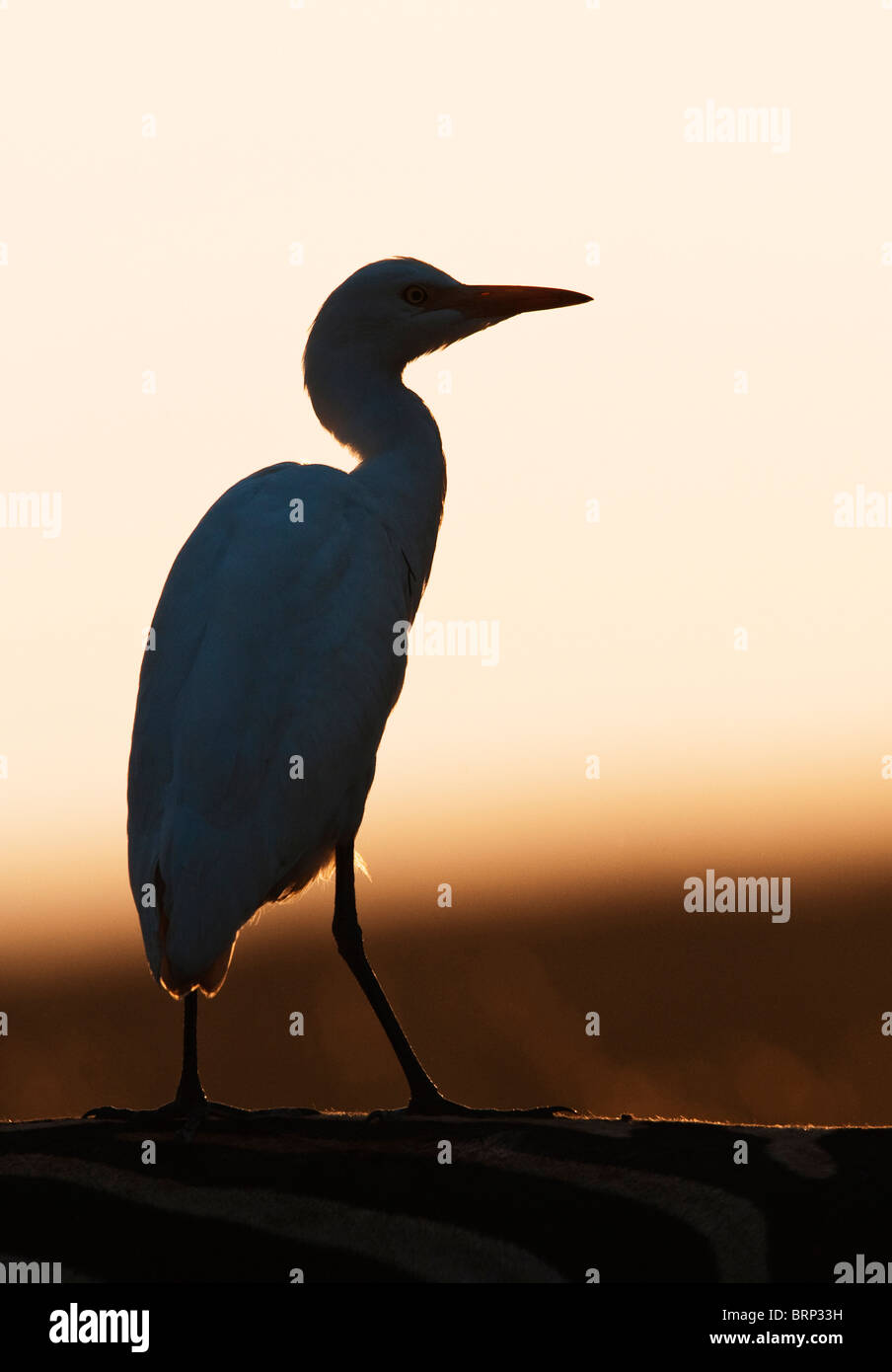 cattle egret silhouette perched on a zebras back stock photo