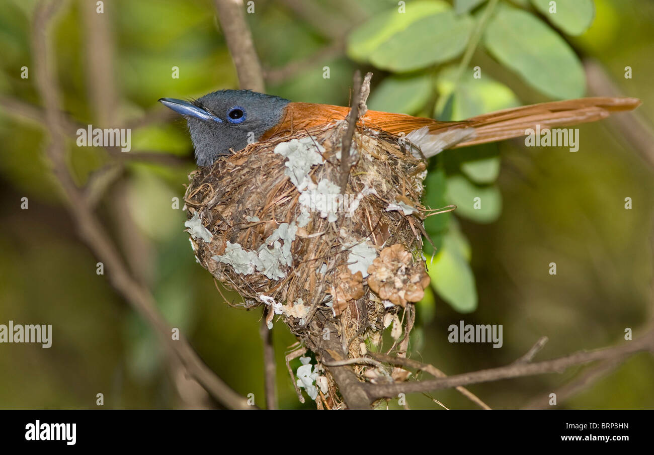 African paradise-flycatcher sitting on a nest Stock Photo