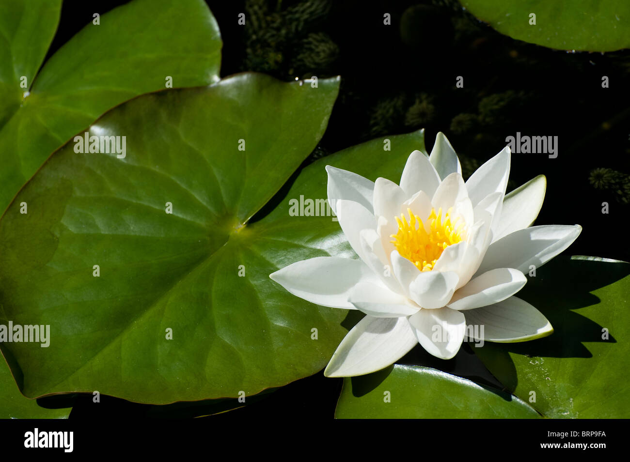 Green lily pads with white flowers stock photos green lily pads pretty white water lily flowers amongst lily pads in a pond stock image izmirmasajfo