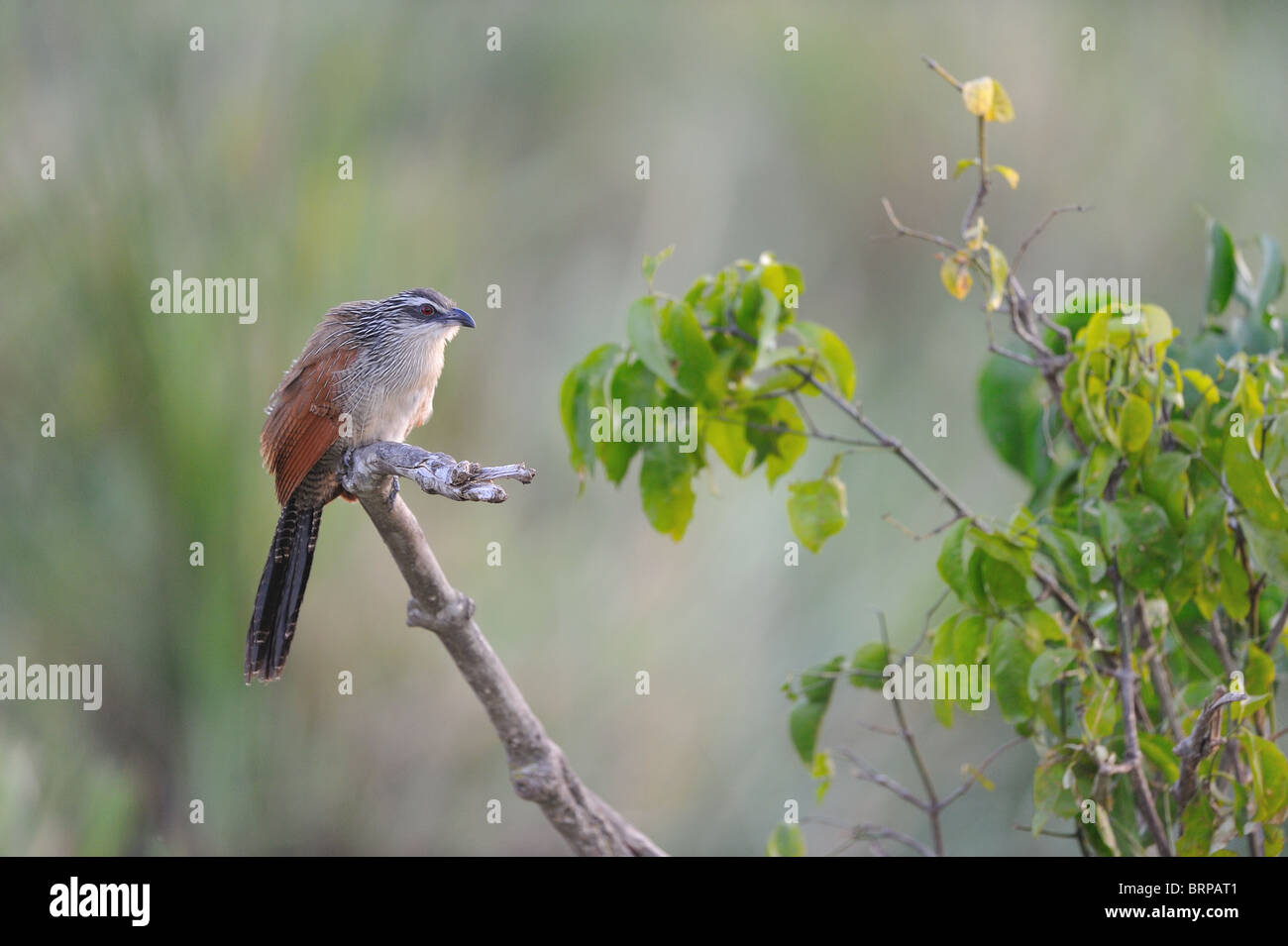 White-browed coucal - Burchell's Coucal - Lark-heeled Cuckoo (Centropus superciliosus) perched on a branch - Stock Image