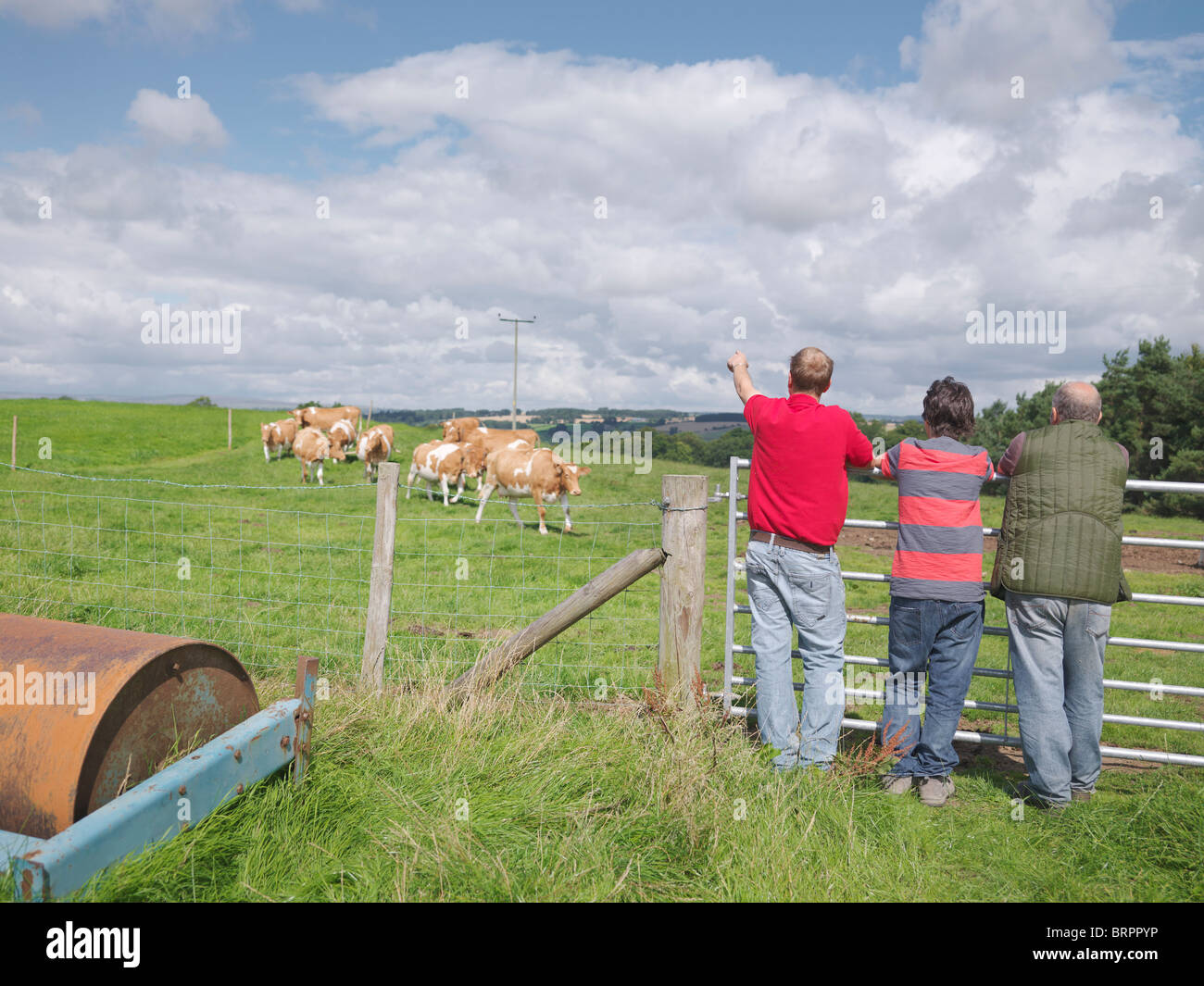 Farmer and sons with Guernsey cows Stock Photo