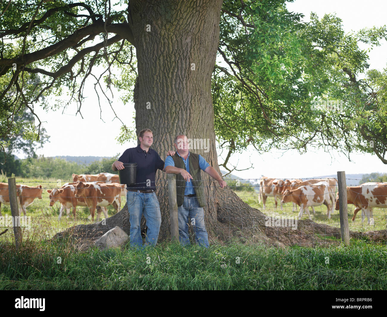 Farmer and son with Guernsey calves - Stock Image