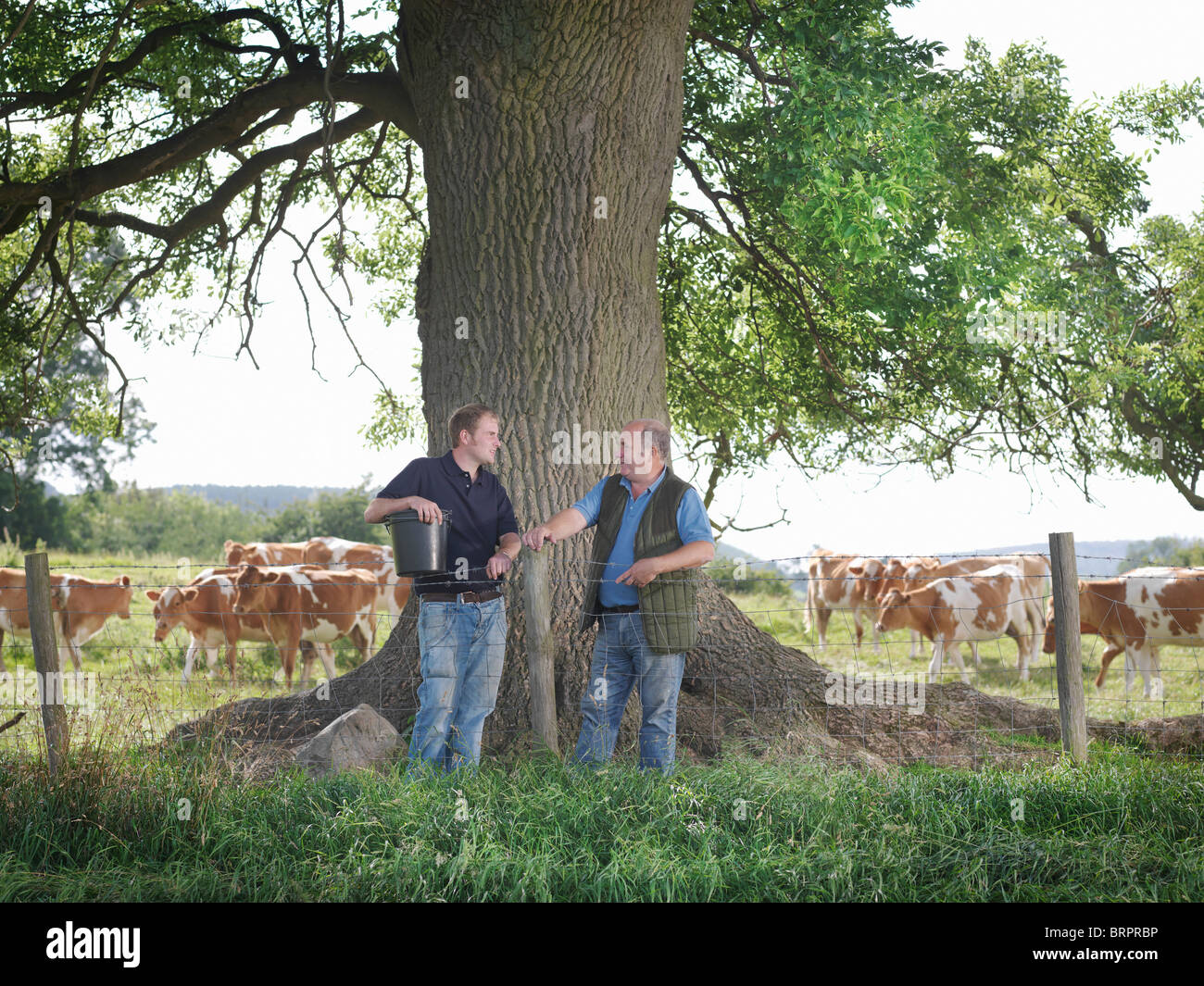 Farmer and son with Guernsey calves Stock Photo
