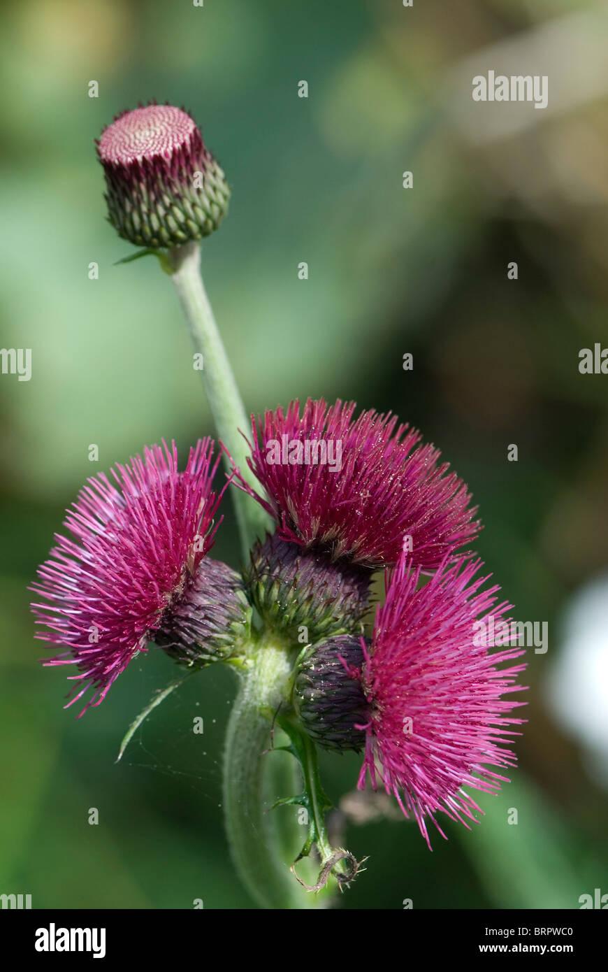 Cirsium rivulare - Stock Image