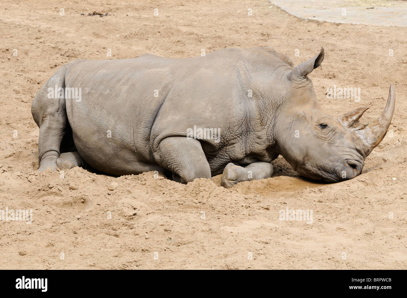 Stock photo of a Rhinoceros at La Palmyre zoo in France. - Stock Image