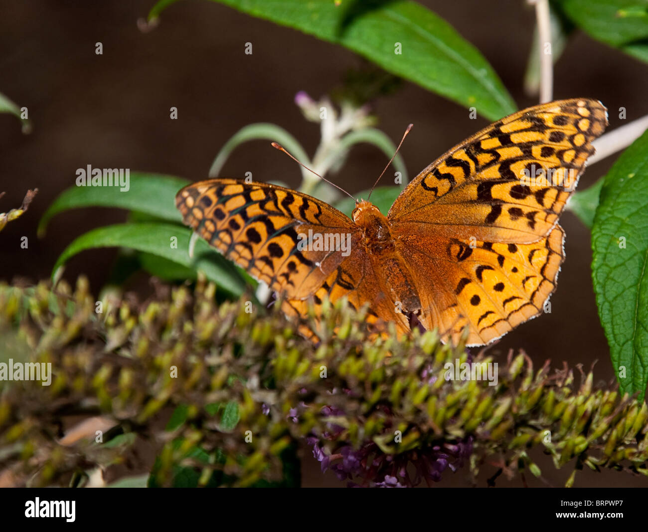 Beautiful Butterfly eating Nectar - Stock Image