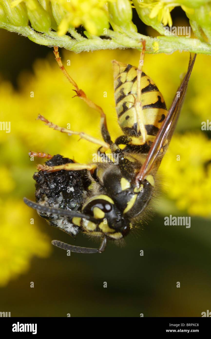 Vespula vulgaris, the common wasp, preying on a fly. - Stock Image