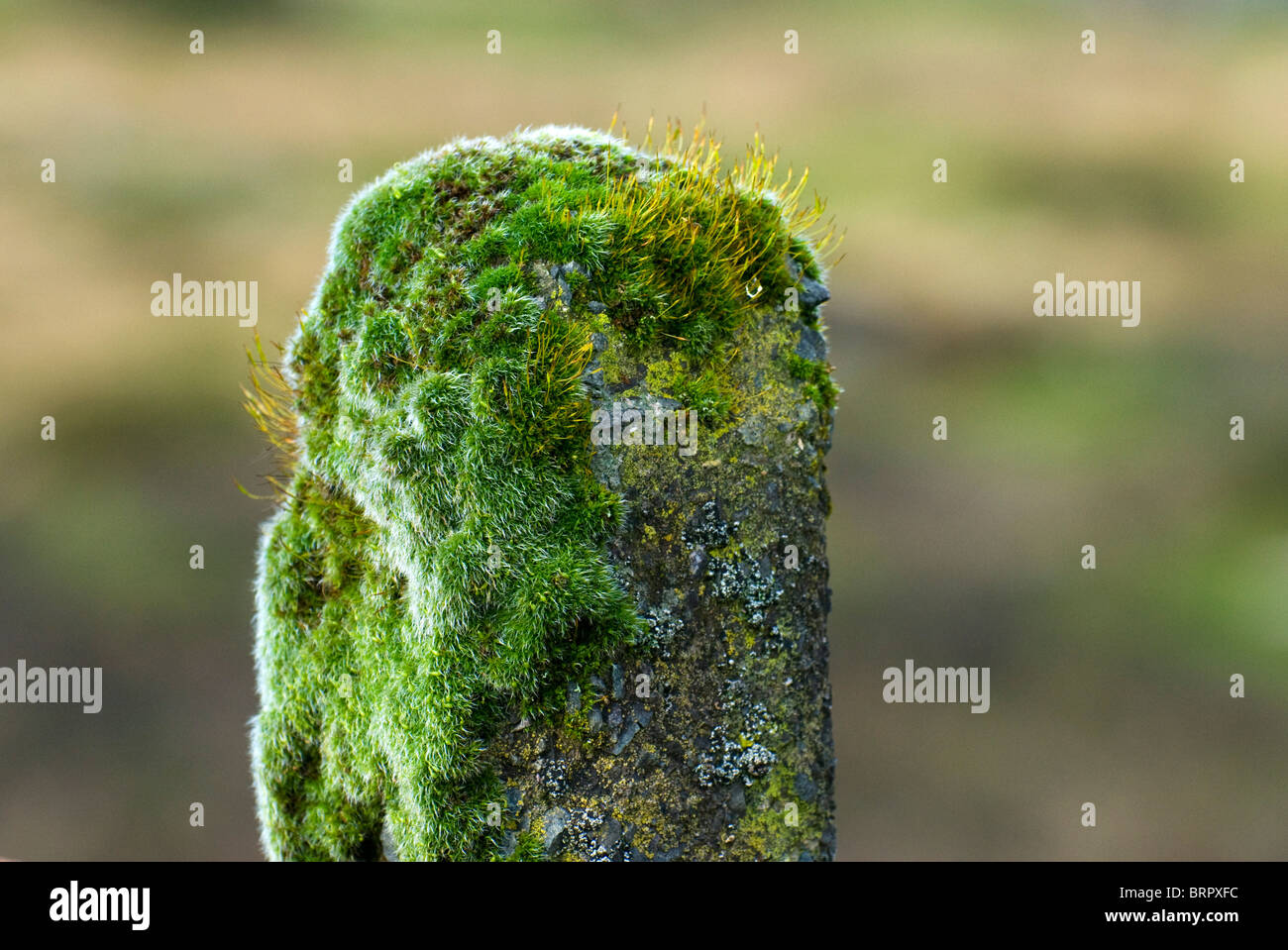 Moss growing on old concrete fence post on Dartmoor, Devon, UK Stock Photo