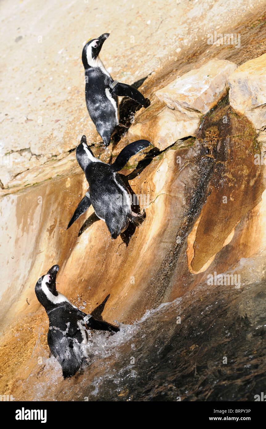 Stock photo of Penguins at La Palmyre Zoo in France. - Stock Image