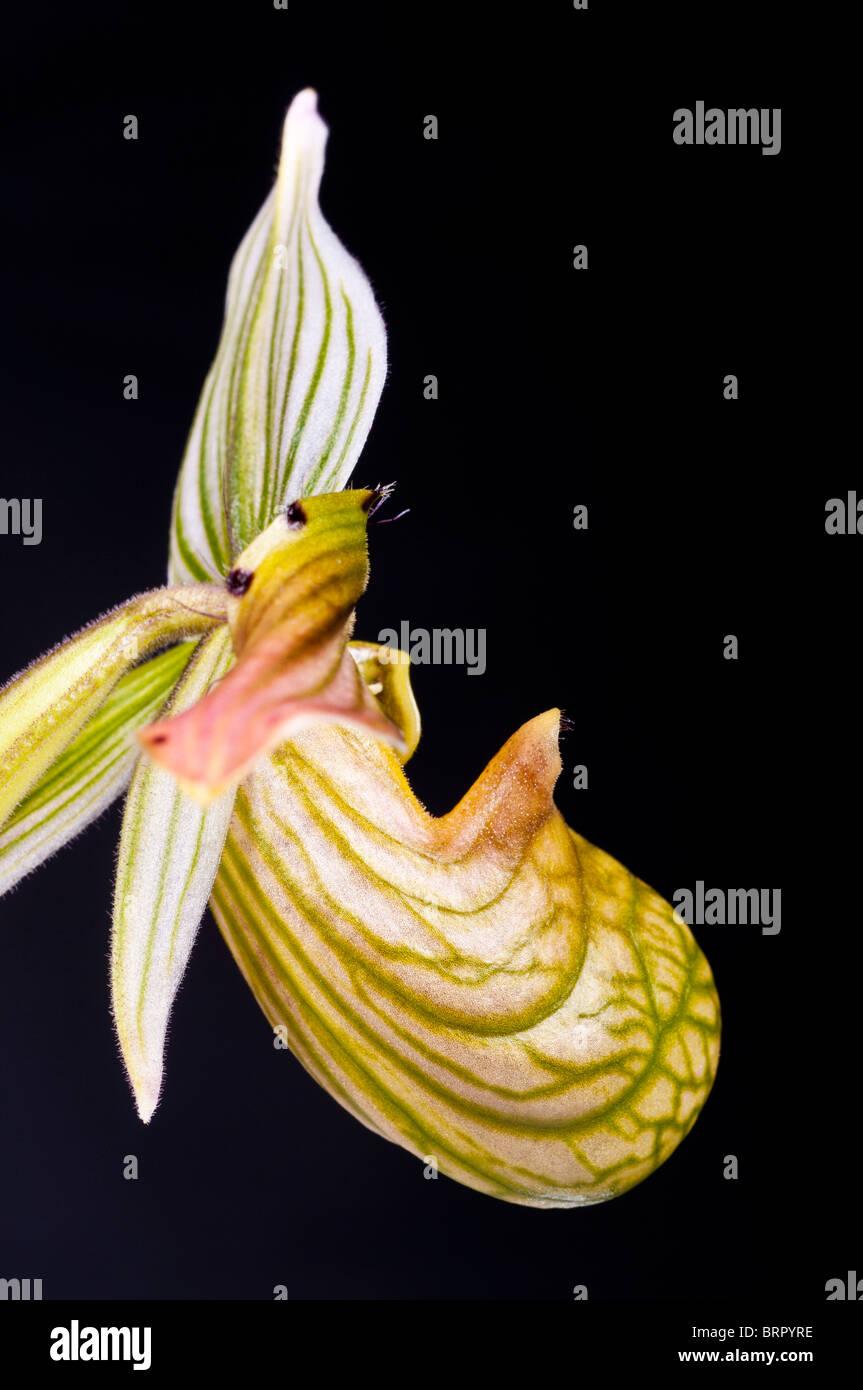 Paphiopedilum venustum, orchid species, extinct in wild, native to India, Bangladesh, Himalayas, Bhutan, Nepal, - Stock Image
