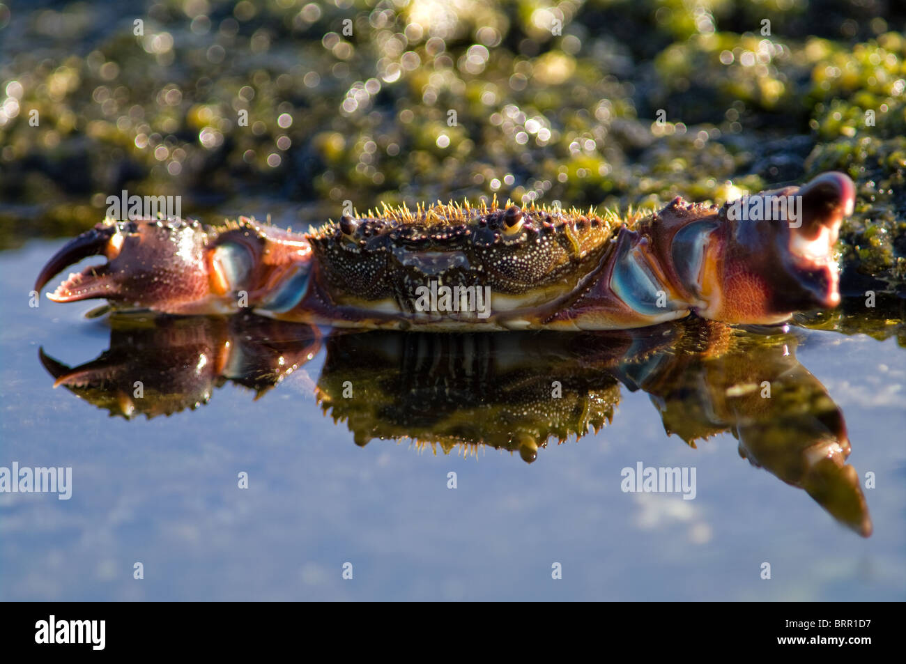 Mirror portrait of warty crab in the water - Stock Image