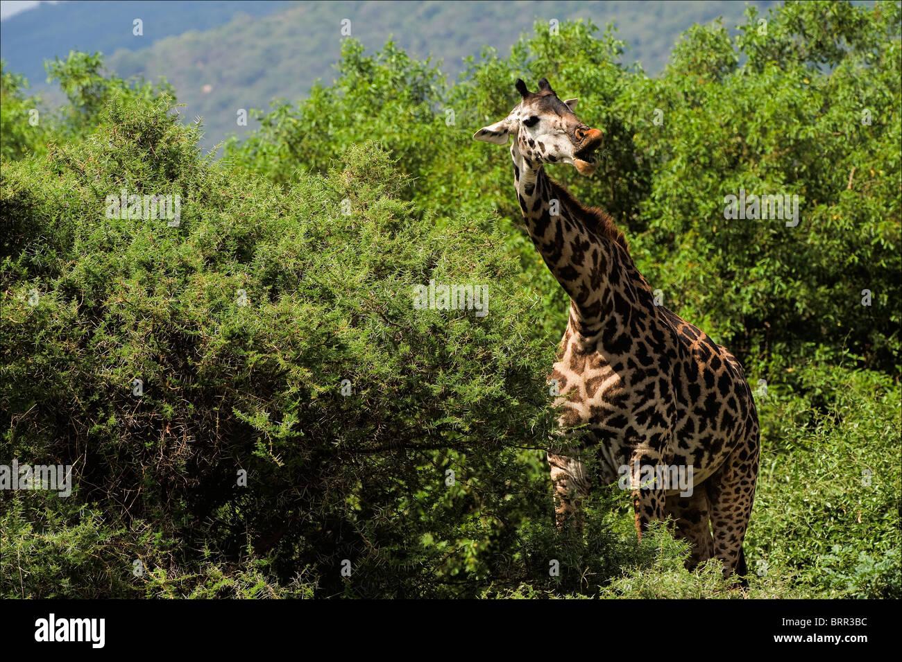 The giraffe also eats a prickly acacia. The giraffe has broken from a tree and chews a prickly branch of an acacia. - Stock Image