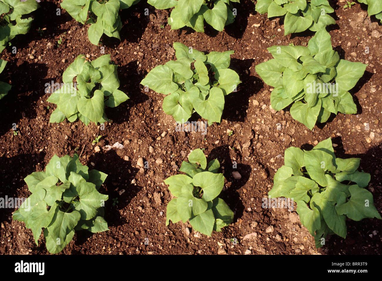 Bean seedlings in rows in a vegetable garden Stock Photo: 31855385 ...