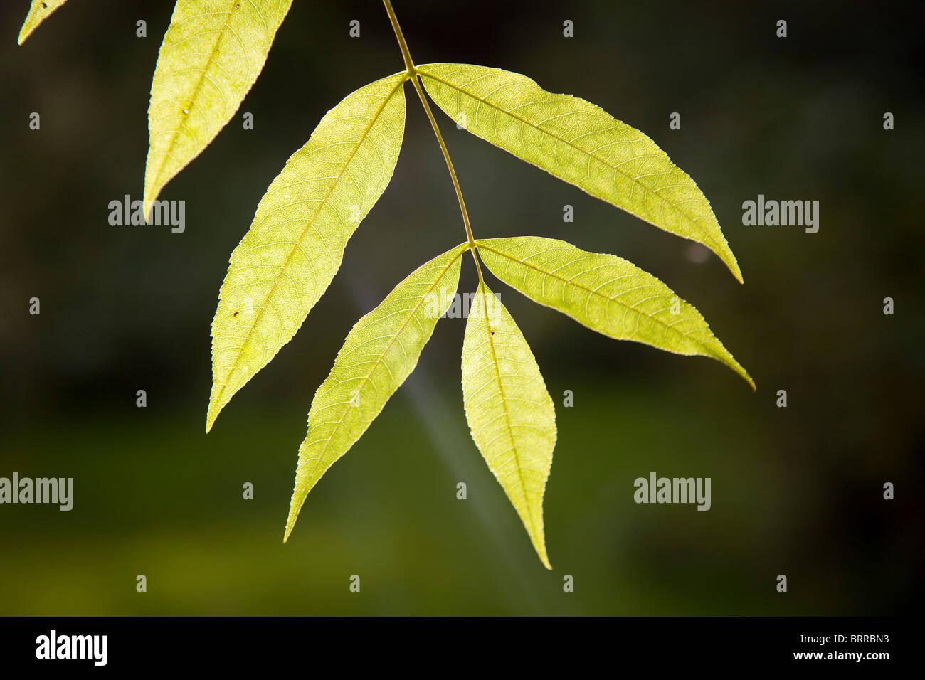 Photosynthesis sun shining ash tree leaves - Stock Image