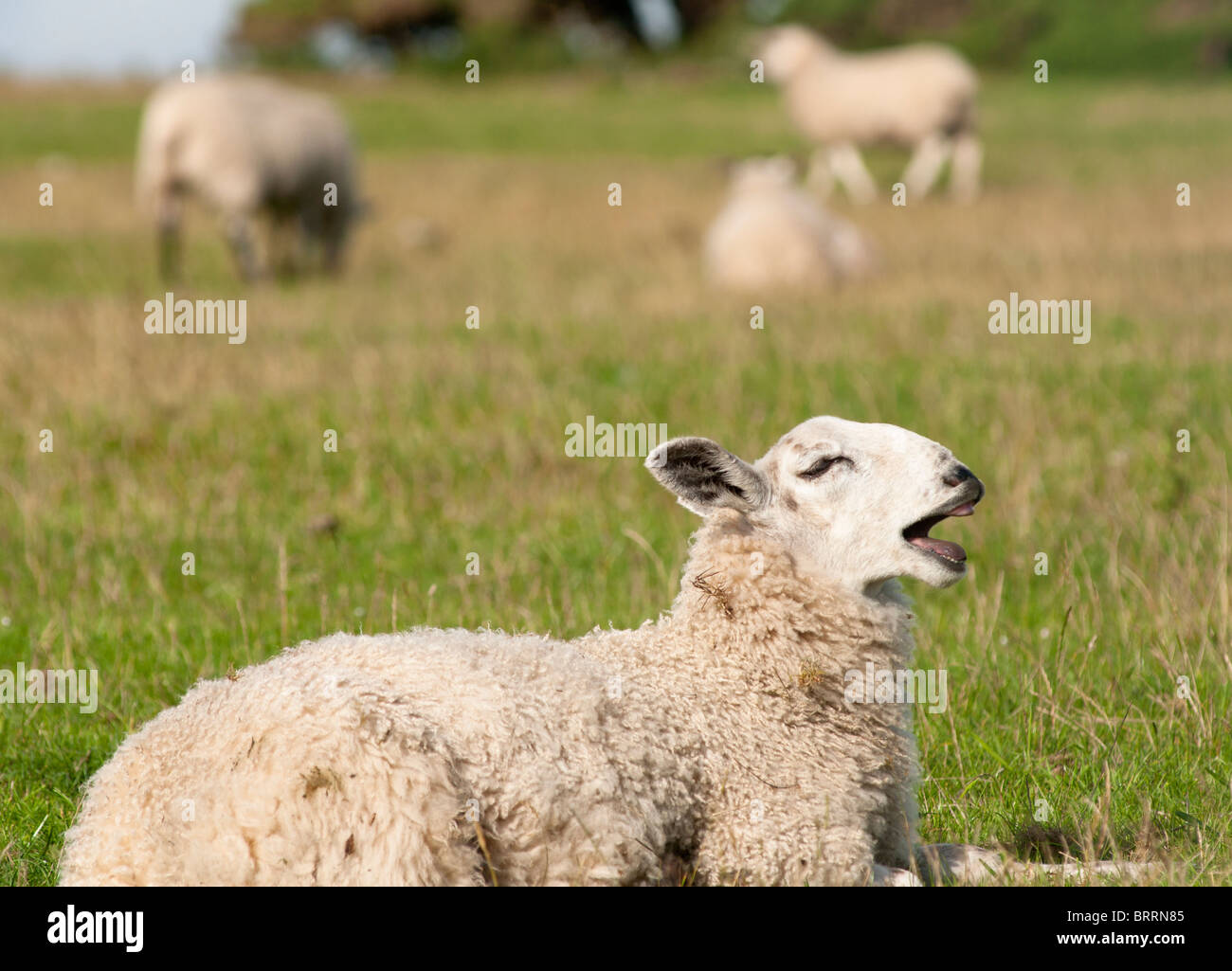 Funny sheep bleating in a field in Northumberland, England - Stock Image