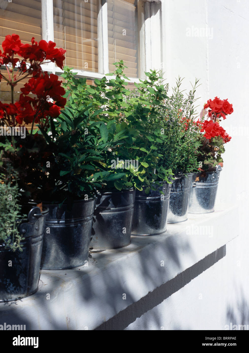 Close-up of herbs and red geraniums growing in metal pots on windowsill - Stock Image
