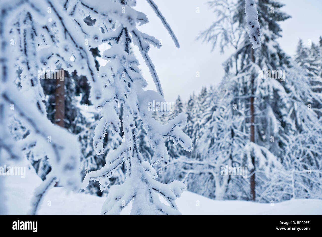 winter forest in Harz mountains, Germany Stock Photo