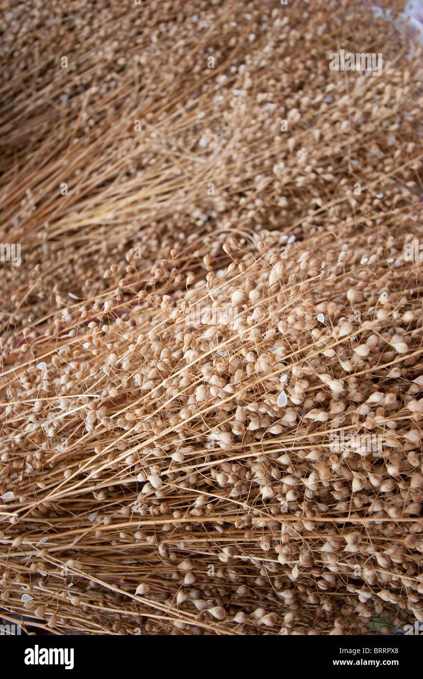 Camelina,(Camelina sativa), or false flax, grain up close whole grain - Stock Image