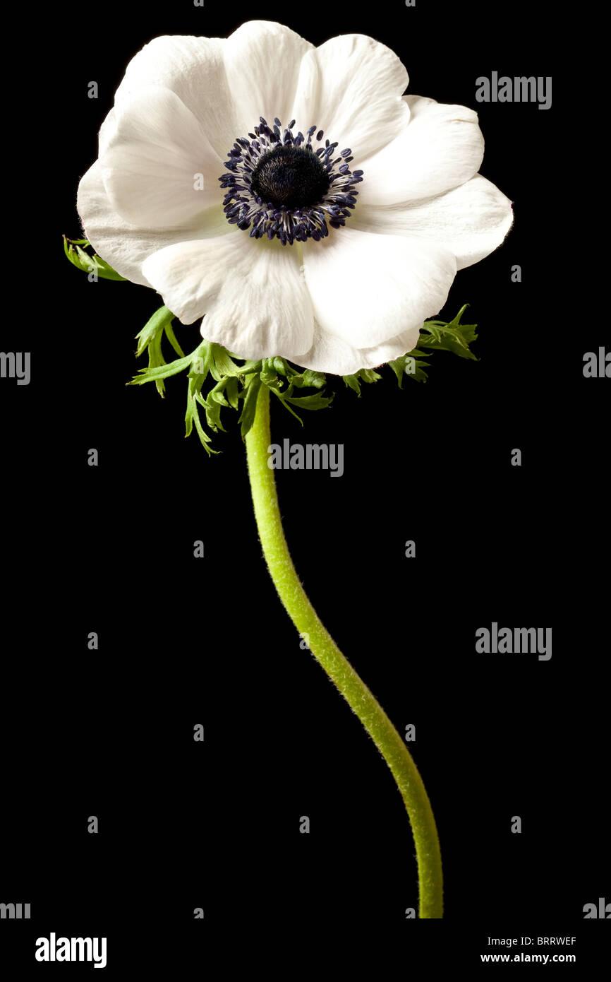 White anemone flower stock photos white anemone flower stock white anemone flower isolated black background floral stock image mightylinksfo