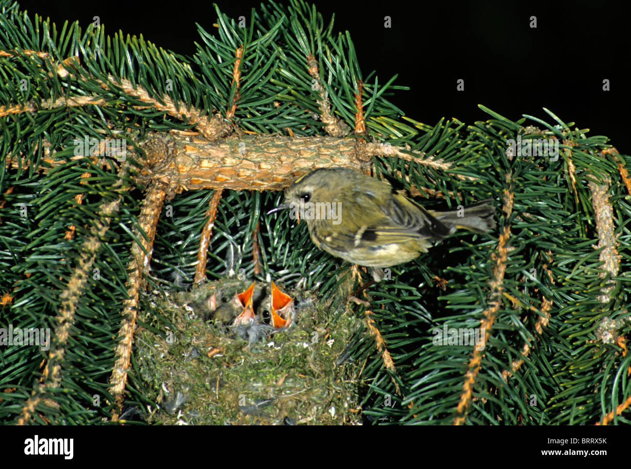 Goldcrest (Regulus regulus) at its nest on a spruce branch - Stock Image