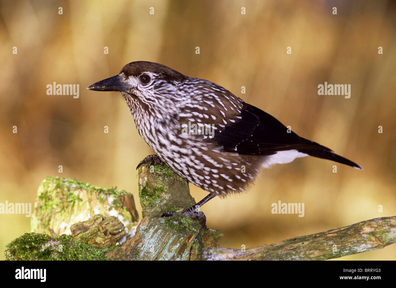 Spotted Nutcracker (Nucifraga caryocatactes) searching for food - Stock Image