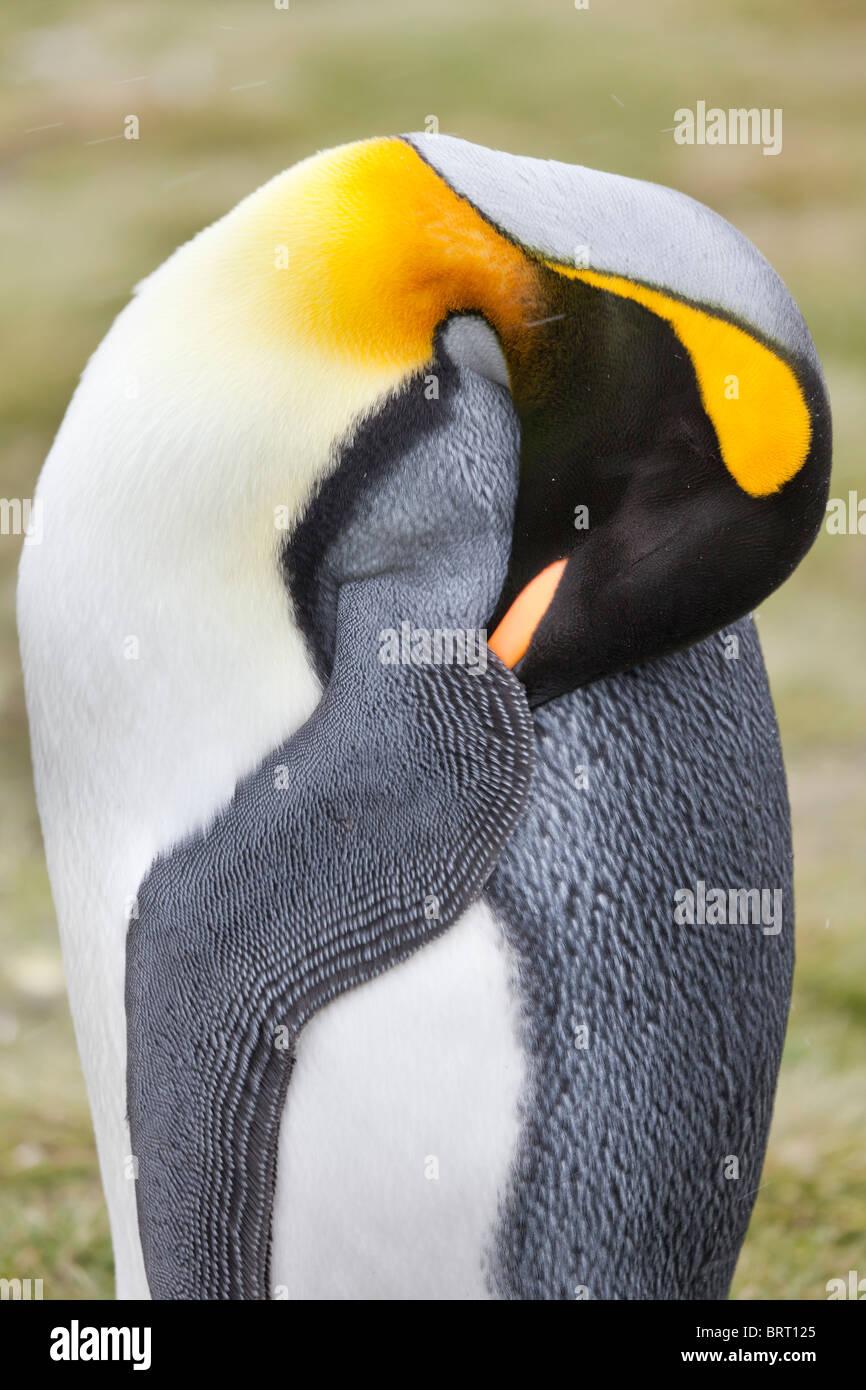 King penguin, Salisbury Plain, South Georgia Island - Stock Image