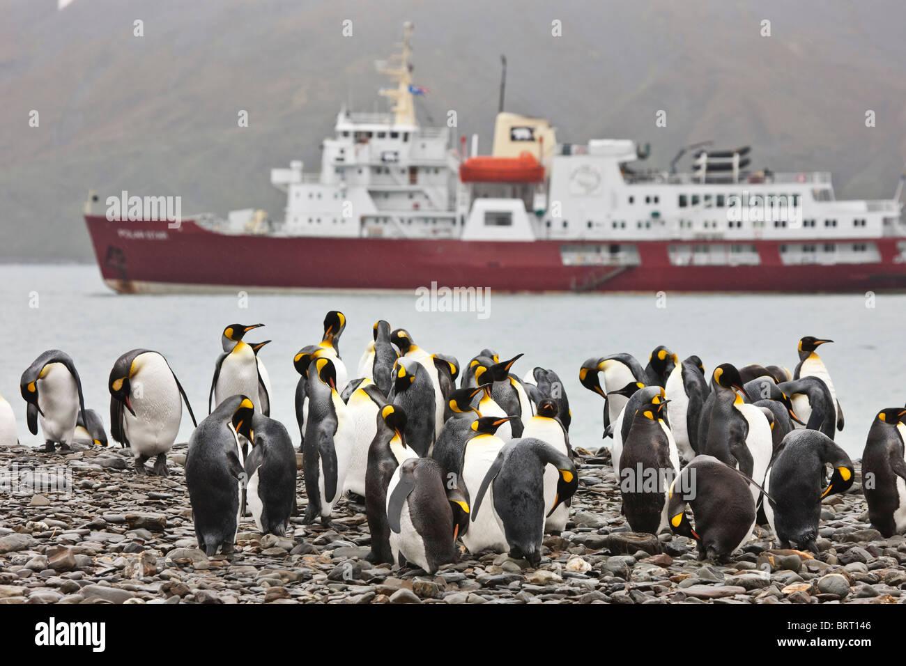 King penguins, M/V Polar Star, Fortuna Bay, South Georgia Island Stock Photo
