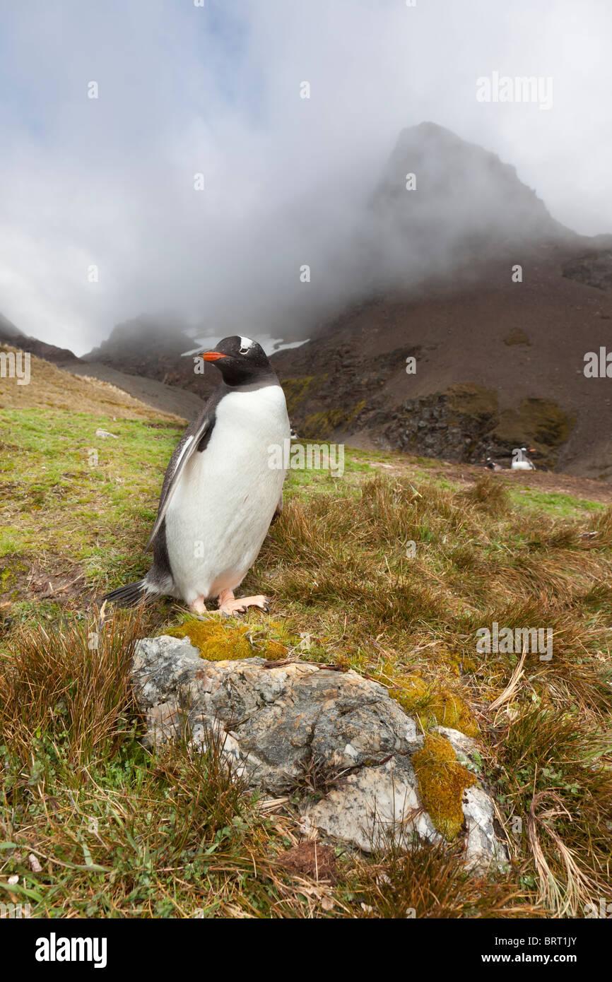 Gentoo penguin, Fortuna Bay, South Georgia Island - Stock Image