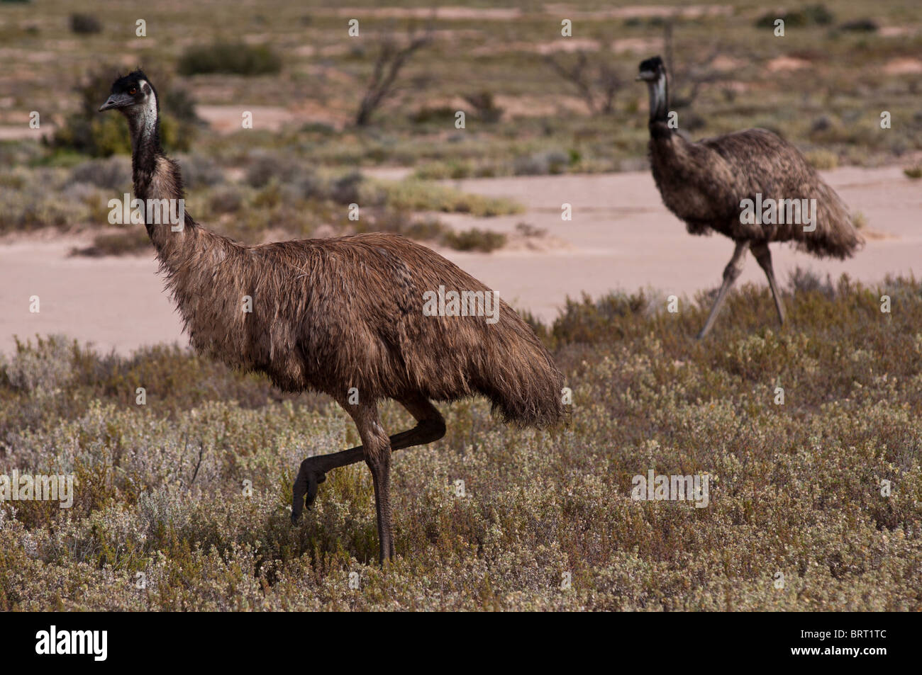 Emu roaming wild in desert country near Broken Hill in New South Wales - Stock Image