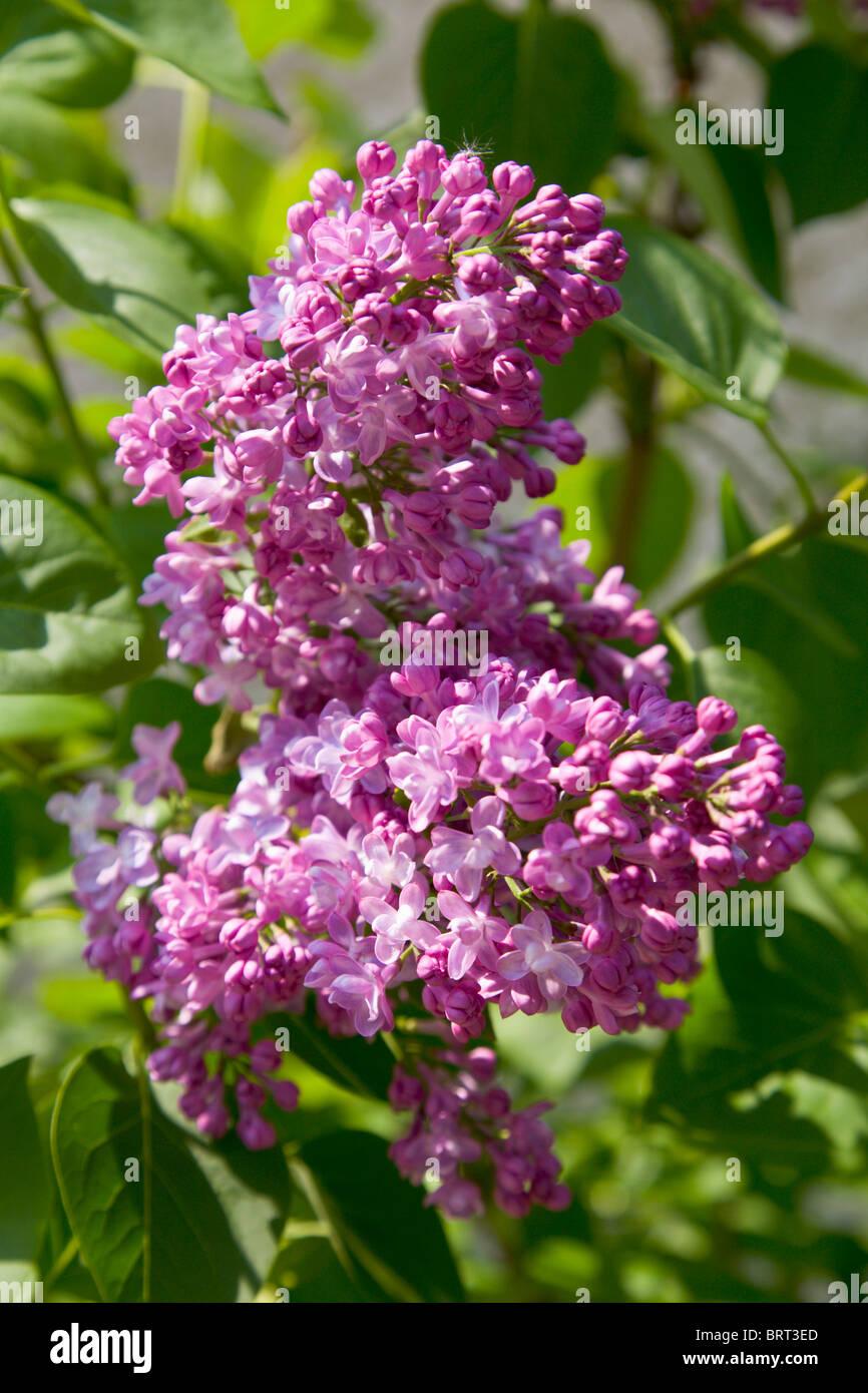 Lilac flower, Syringa vulgaris, Michel Buchner - Stock Image
