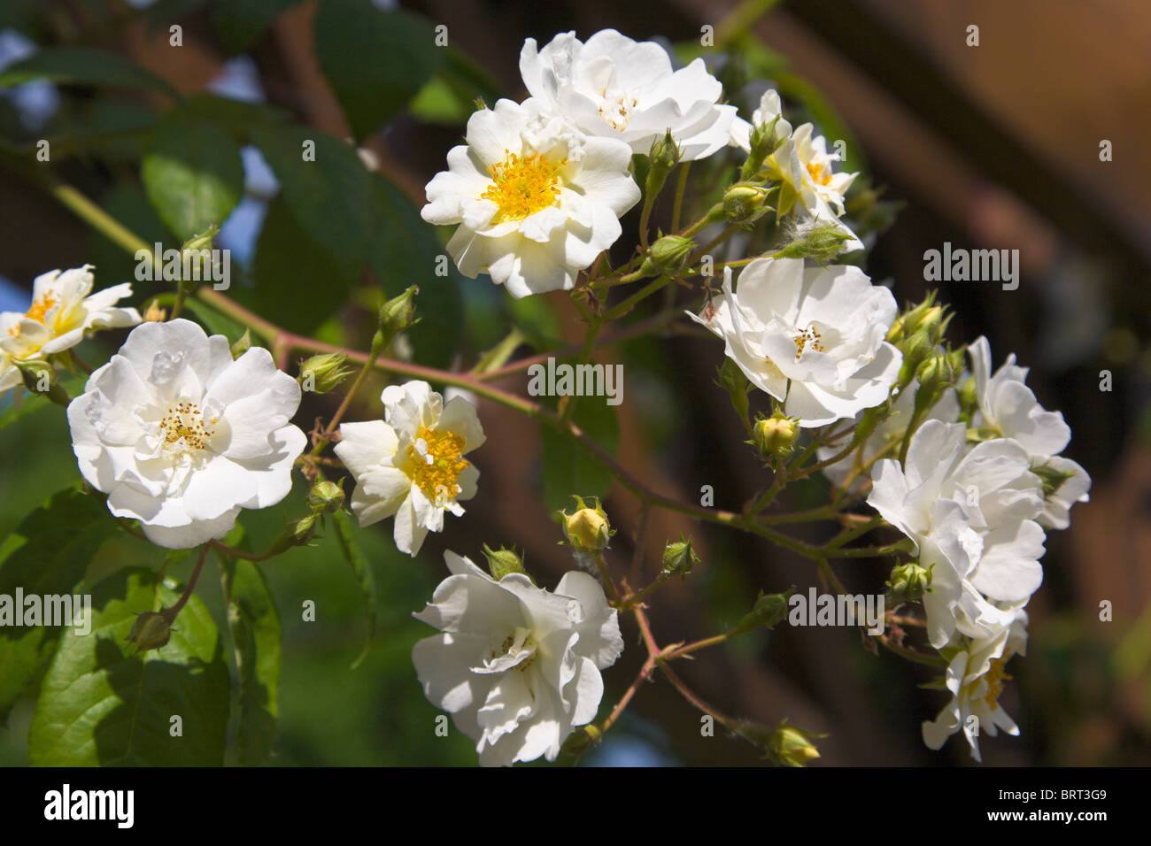 Rambling Rector, white rambling rose, England - Stock Image