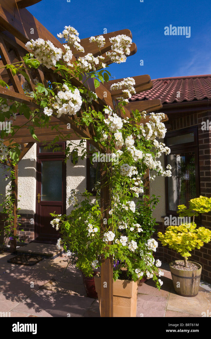 Pergola with white rambling rose, Rambling Rector, growing in pot, England - Stock Image