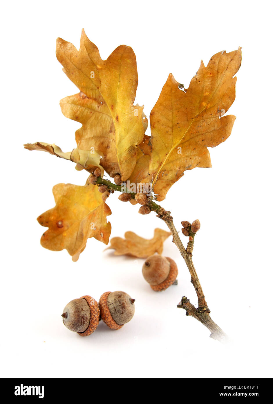autumn oak twig and acorns - Stock Image