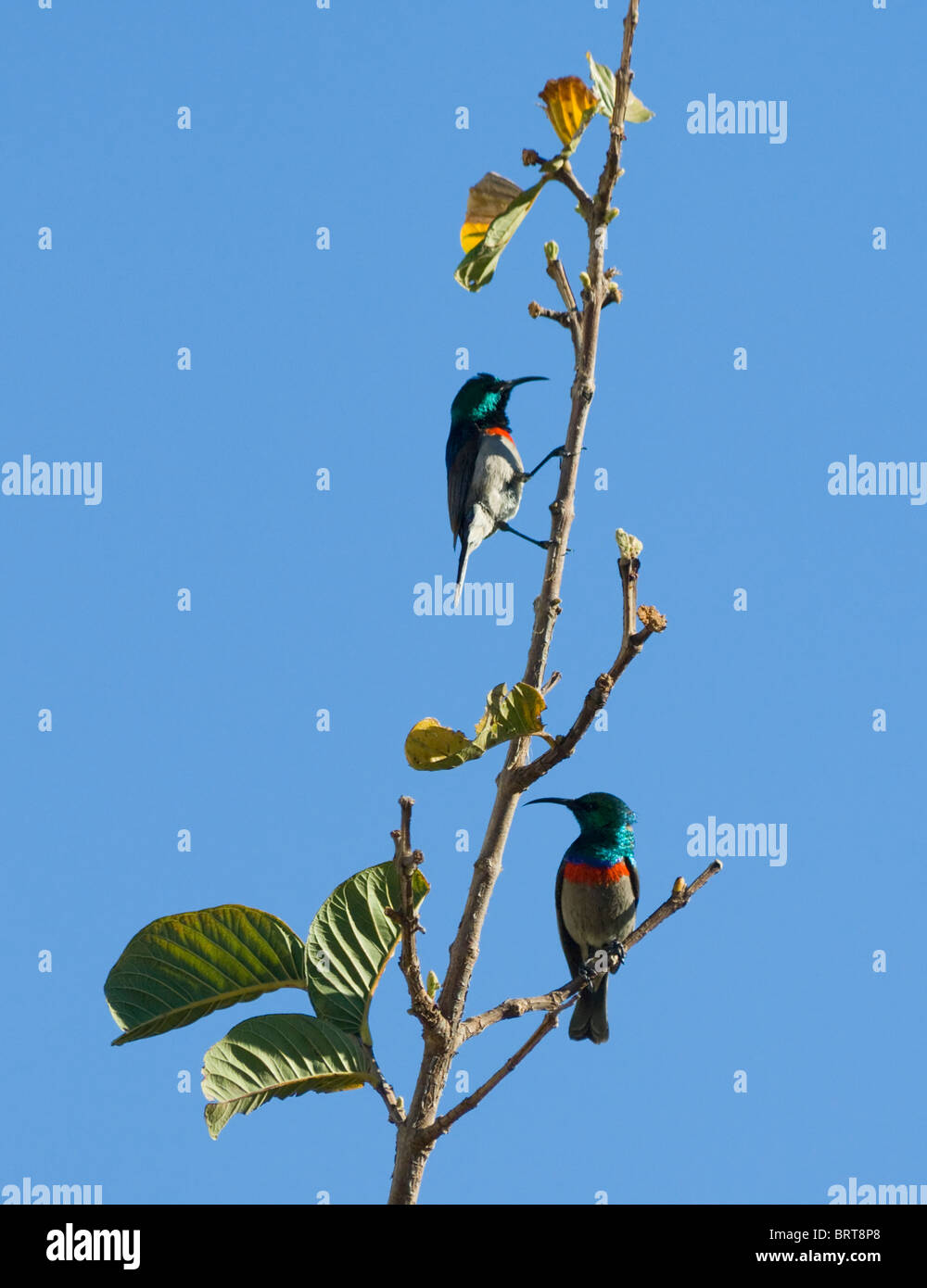 Southern Lesser Double-Collared Sunbirds Cinnyris chalybea - Stock Image